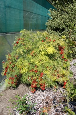 Sambucus Welsh Gold in garden