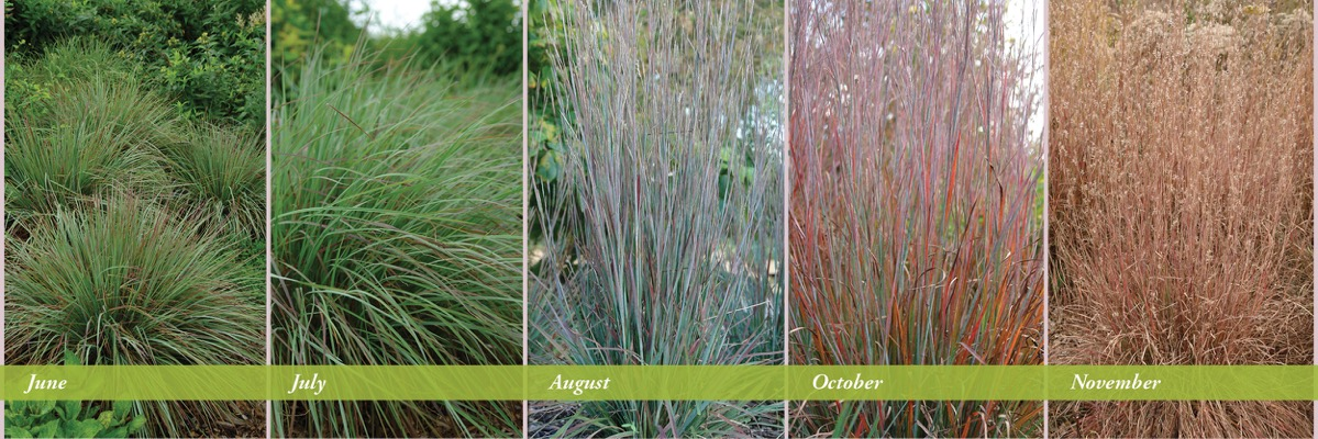 General image of Schizachyrium Standing Ovation