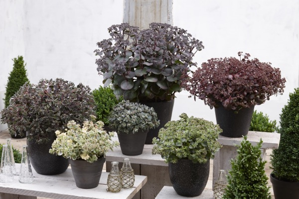General image of Sedum Blue Pearl