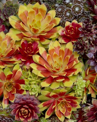 Sempervivum Gold Nugget foliage