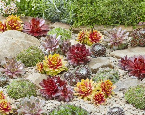 Sempervivum Gold Nugget in garden