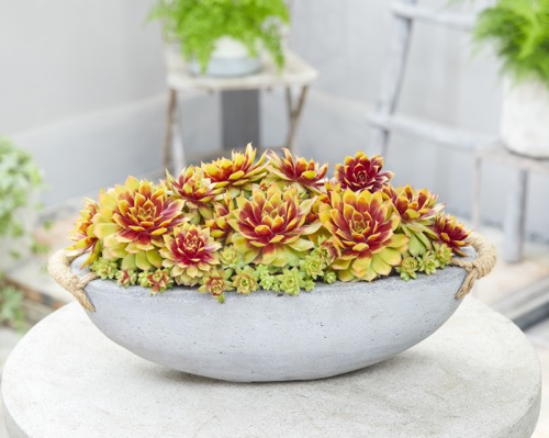 Sempervivum Gold Nugget on patio