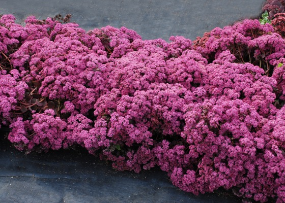 Sedum Cherry Tart in garden