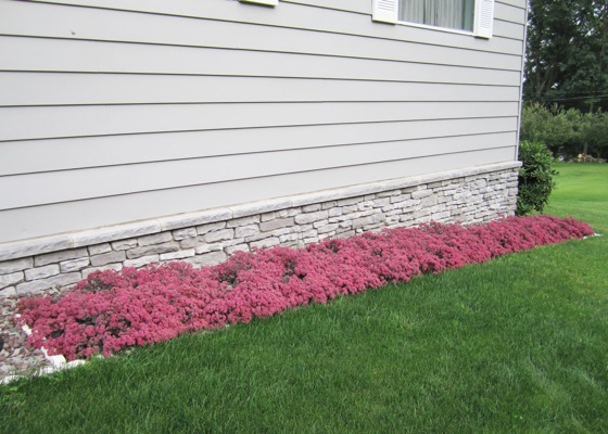 Sedum Dazzleberry in garden