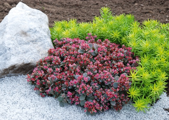 Sedum  Sunsparkler® 'Blue Elf'PBR in garden