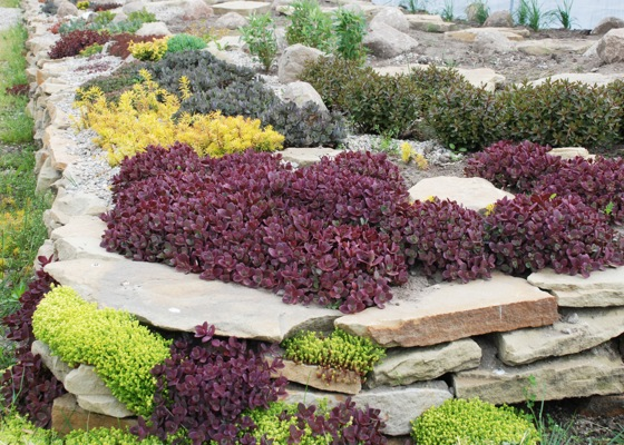 Sedum Firecracker in garden