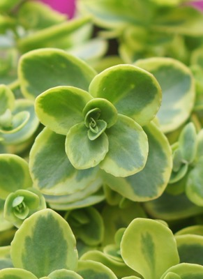 Sedum Lime Twister flower close-up