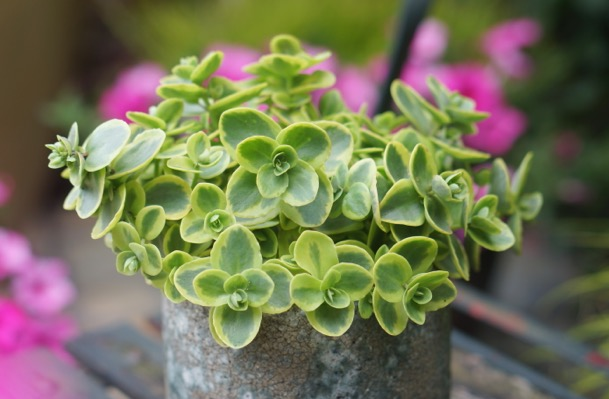 Sedum Lime Twister foliage