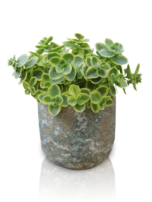 Sedum Lime Twister in pot