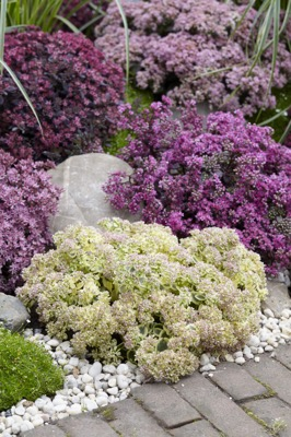 Sedum Lime Twister in garden