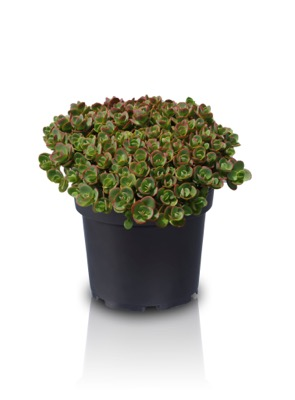 Sedum Lime Zinger in pot