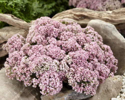 Sedum Lime Zinger in garden