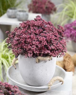 Sedum Plum Dazzled on patio