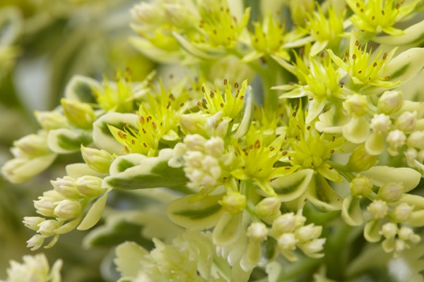 Sedum Atlantis® flower close-up