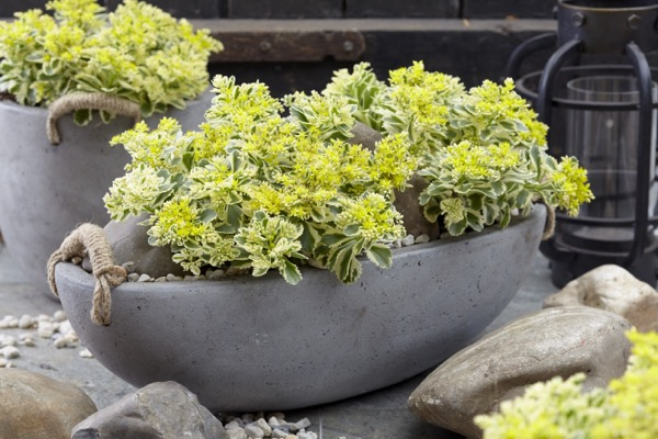 Sedum Atlantis® on patio