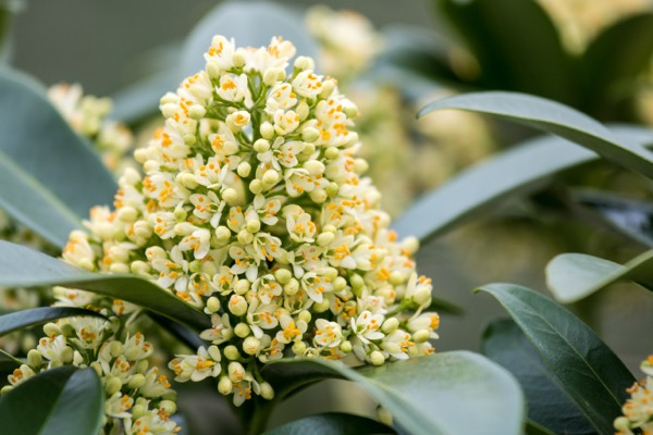 Skimmia Gold Series® Illusion® flower close-up
