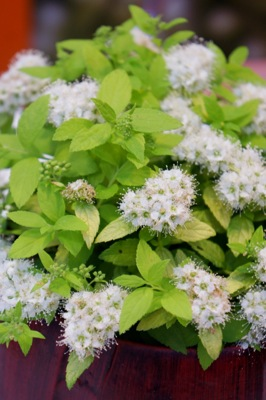Spiraea White Gold flower image