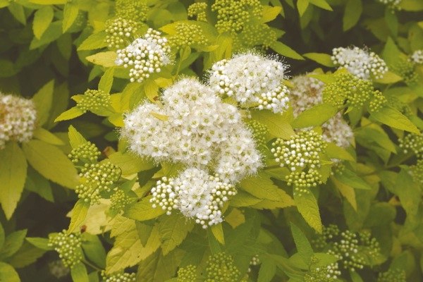 Spiraea White Gold flower close-up