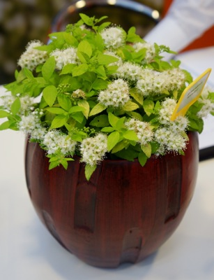 Spiraea White Gold in pot