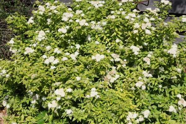 Spiraea White Gold in garden