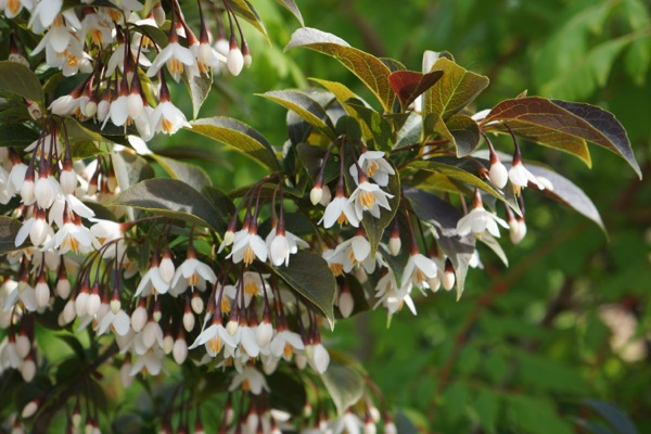Styrax Evening Light flower image