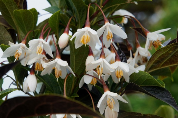 Styrax Evening Light flower close-up