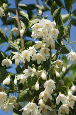Styrax June Snow flower image