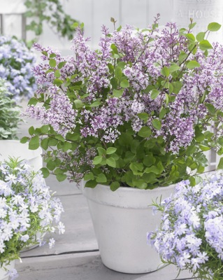 Syringa Flowerfesta® Purple on patio