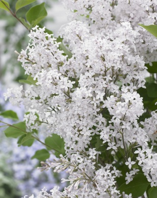 Syringa Flowerfesta® White flower close-up