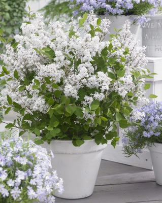 Syringa Flowerfesta® White on patio