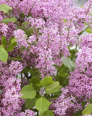 Syringa Flowerfesta® Pink flower close-up