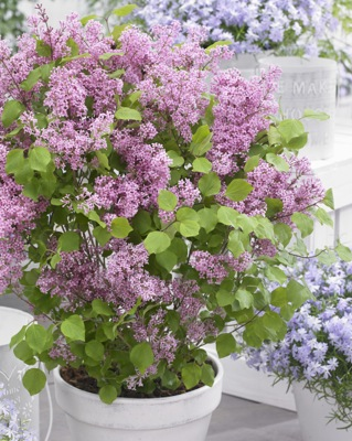 Syringa Flowerfesta® Pink on patio