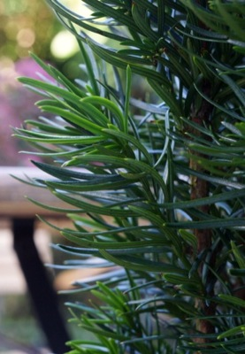 Taxus Exotica foliage close-up