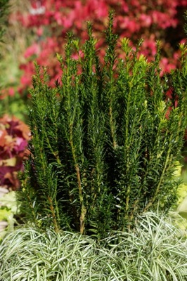 Taxus Eleganza on patio