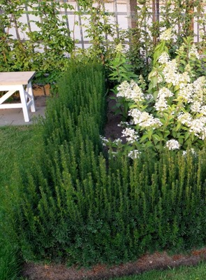 Taxus Rising Star® in garden