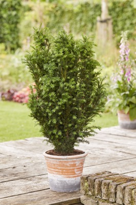 Taxus Rising Star® on patio
