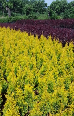 Thuja Sunny Smaragd with nursery