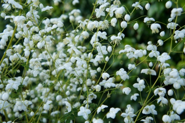 Thalictrum Splendide White flower close-up
