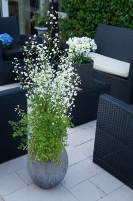 Thalictrum Splendide White on patio