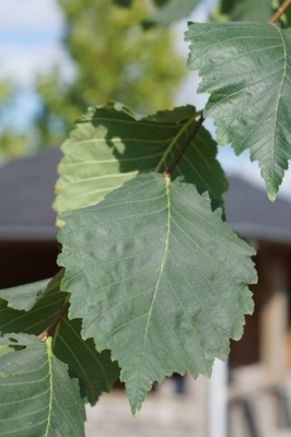 Ulmus Helena® foliage close-up