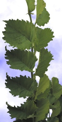 Ulmus Lutece® foliage close-up