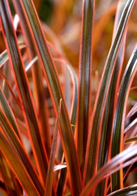 Uncinia Everflame foliage close-up