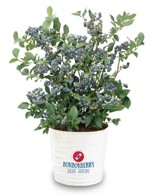 Vaccinium BonBonBerry® Blue Suede in pot