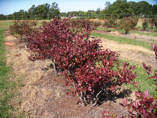 Vaccinium BonBonBerry® Blue Suede with nursery