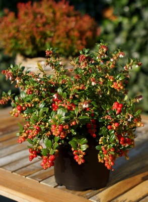 Vaccinium Fireballs on patio