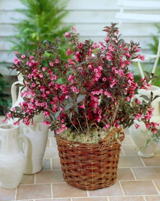 Weigela Alexandra in pot