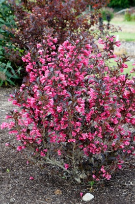 Weigela Alexandra in garden