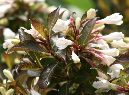 Weigela Black and White® flower close-up