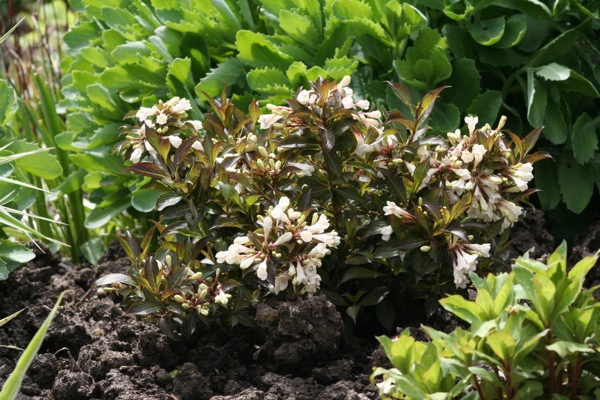 Weigela Black and White® in garden