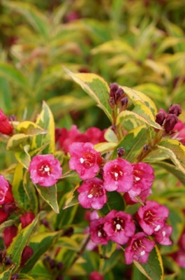 Weigela Moulin Rouge flower close-up